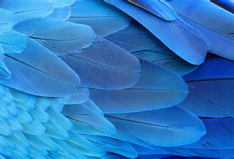 blue  gold macaw wing feathers wallpaper  offices