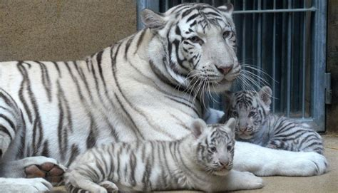 mira los tiernos cachorros de tigre blanco  nacieron en