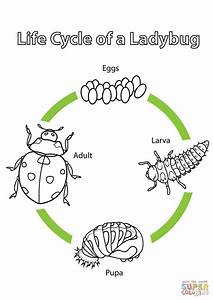 21 best lifecycles images on Pinterest | Life cycles ...