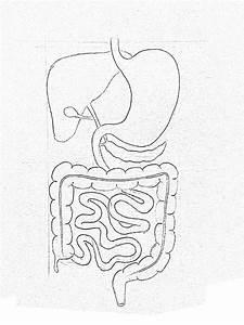 Draw It Neat   How To Draw Human Digestive System