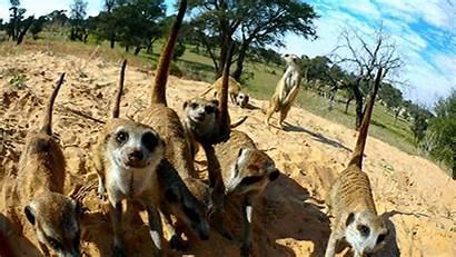Wild Camera Meerkat Animals Meerkats Gifs Hidden