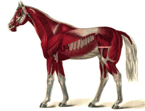 muscle pain muscles horse unicorn down uploaded