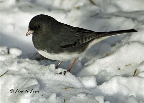 dark eyed junco various bird species