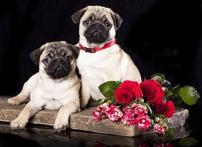Pugs Roses Pug Flowers Dogs Puppies Flower