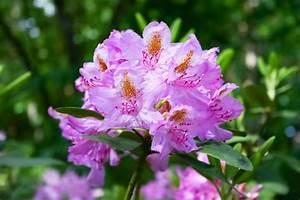 Braune Blätter Am Rhododendron : gartentipps im mai ziergarten gartenzauber ~ Lizthompson.info Haus und Dekorationen