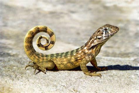 reptile lizard amphibian between difference mammal animal figure vs diapsids mesozoic nature compare similar