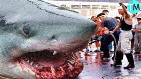 los tiburones blancos mas grandes jamas antes vistos