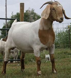 Boer Goat Doe | Show Goats | Pinterest