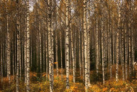 birch forest birch forest birch forest during autumn in finland sept 2 miguel virkkunen carvalho flickr
