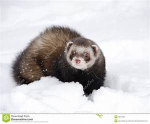 Cute ferret stock image. Image of playful, nature, furry ...