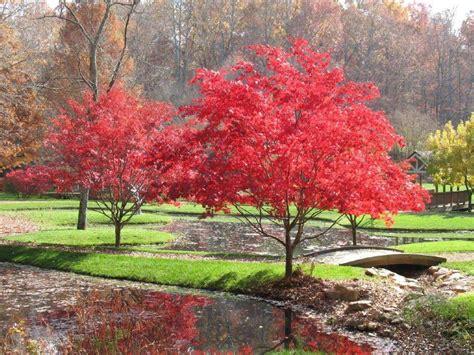 japanese maples japanese maples silva pinterest japanese maple backyard landscaping and japanese red maple