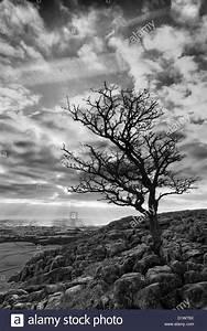 Dekokissen Schwarz Weiß : schwarz wei landschaftsbild von einem einsamen wei dorn baum auf twistleton narben in der ~ Frokenaadalensverden.com Haus und Dekorationen