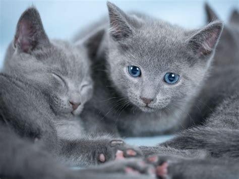 welche katzenrasse ist das moechte iene katze rasse