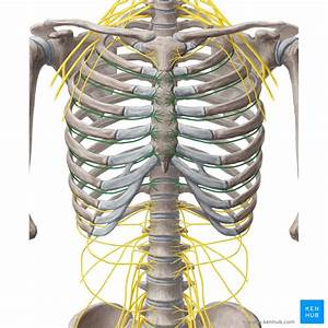 Intercostal Nerves T2