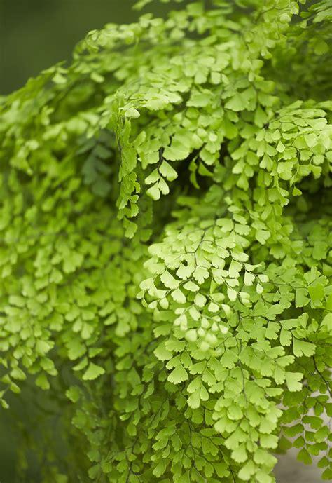 maidenhair fern home grown greens alpha fern