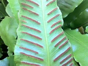 Kirschlorbeer Ungiftige Sorte : hirschzungenfarn phyllitis scolopendrium staude pflege asplenium scolopendrium schnitt ~ Orissabook.com Haus und Dekorationen