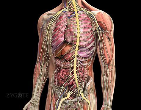 3d Male Nervous System