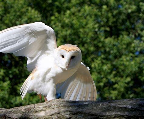 photo barn owl owl bird animal wild  image