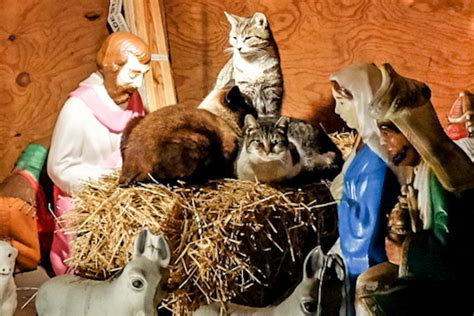 feral cats   nativity scene  delight  red