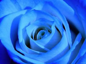 Unique blue rose HD Desktop Wallpaper | HD Desktop Wallpaper