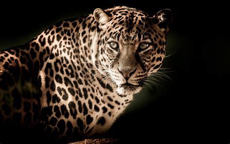 Leopard Animal Wallpaper - wallpaper leopard hd 4k animals 10783