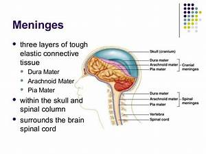 Meninges Three Layers Of Toughelastic Connectivetissue