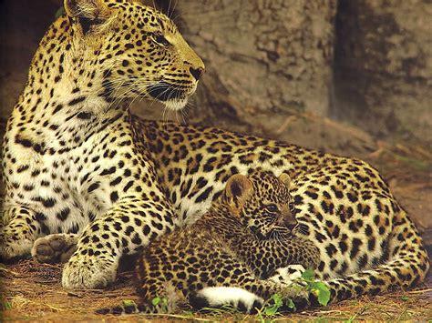 Jaguar Photo by Jaguar With Cub Animal Cubs Photo 29106058 Fanpop