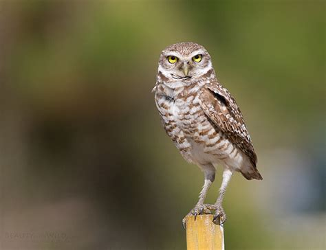 florida burrowing owl flickr photo sharing