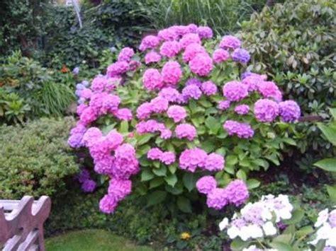 hortensien überwintern im topf hortensien im topf mein sch 246 ner garten forum