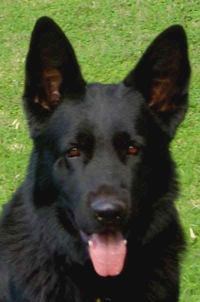 black  bi colorgerman shepherd sires
