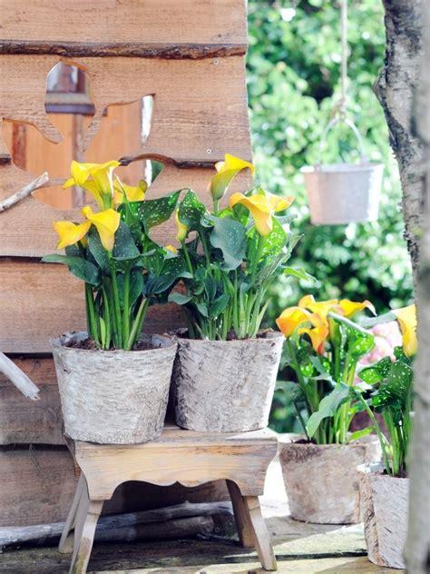 Calla Pflanze Kaufen by Calla Blume Pflege Calla Pflanze So Pflegt Ihr Die Calla