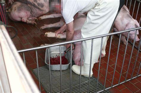 bilder schlachtung massentierhaltung abschaffen