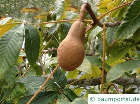 kastanien fruechte baumportal