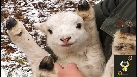 cute baby goats compilation  pp youtube