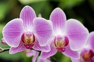 Schöne Orchideen Bilder : die gen gsame phalaenopsis ist eine gute wahl f r einsteiger 1 ~ Orissabook.com Haus und Dekorationen
