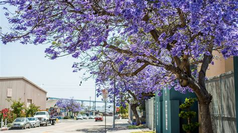 purple trees name names of flowering trees www pixshark com images galleries with a bite
