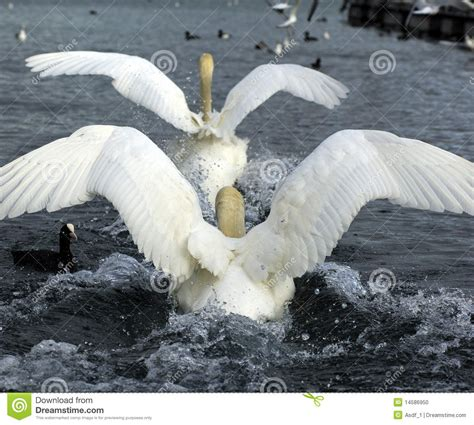 courtship rituals of mute swans stock photo image 14586950