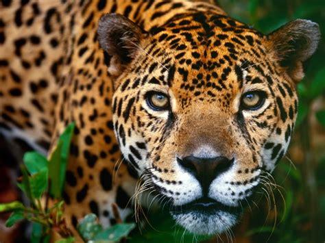 Jaguar Animal Wallpaper - animal free wallpapers animal jaguar free wallpapers
