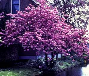 Winterharte Sträucher Dauerblüher : garten top kaufen japanische bl tenkirsche rosa bl hend ~ Articles-book.com Haus und Dekorationen