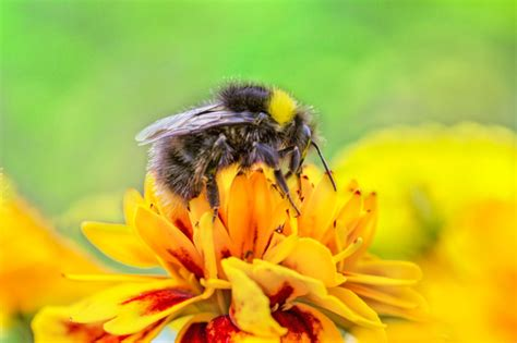 bees  officially  endangered species science