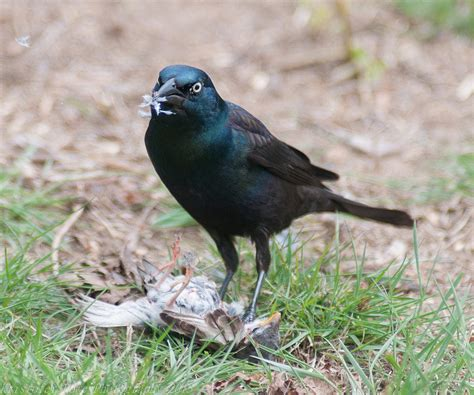 i didn t know grackles eat sparrows photography forum