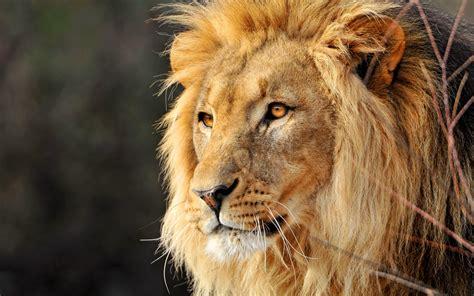 fantasy lion pictures