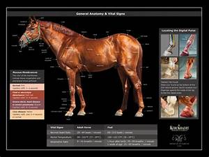 Horse Vital Signs Chart Horse Anatomy Posters