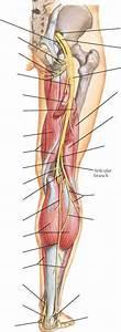 Biceps Femoris Long Head - Spinal Nerve - RR School Of Nursing