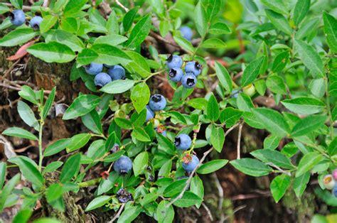 Heidelbeeren » Diesen Pflanzabstand Sollten Sie Einhalten