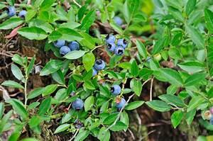 Wann Heidelbeeren Pflanzen : heidelbeeren diesen pflanzabstand sollten sie einhalten ~ Orissabook.com Haus und Dekorationen