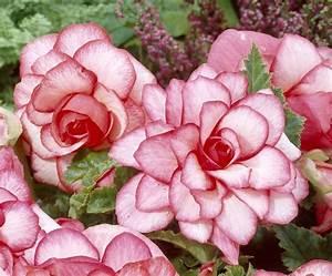 Bouton De Rose : florissa sensational begonias ~ Dode.kayakingforconservation.com Idées de Décoration