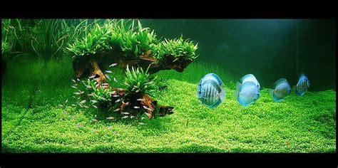 How To Set Up An Aquascape by Freshwater Aquarium Plants For Your Discus Fish Tank