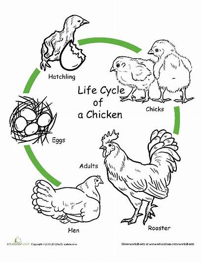 Lesson Plan Cycle Chicken Education Project Pdf