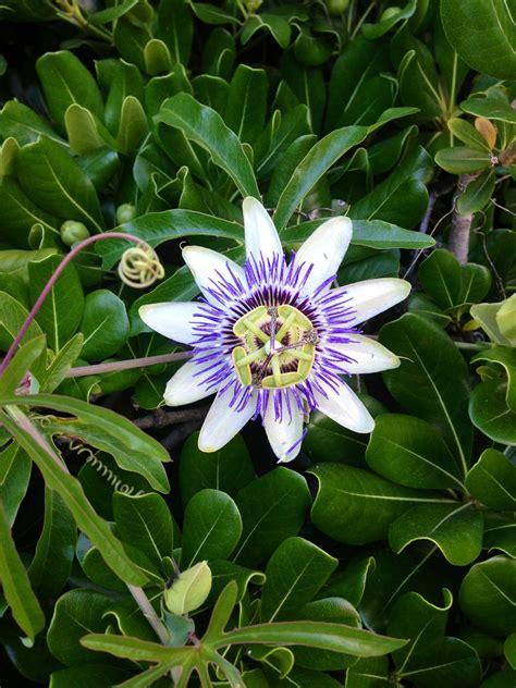 Flor de Maracuya | Pretty flowers, Plants, Flowers